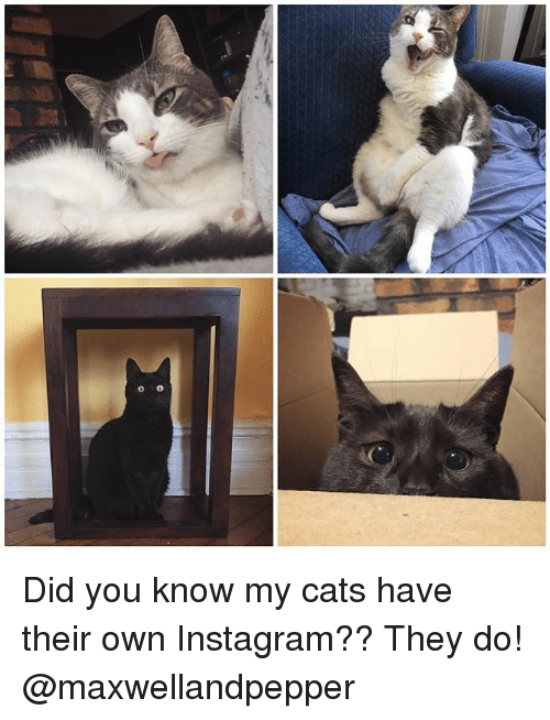 Cats, Instagram, and Memes: Did you know my cats have their own Instagram?? They do! @maxwellandpepper