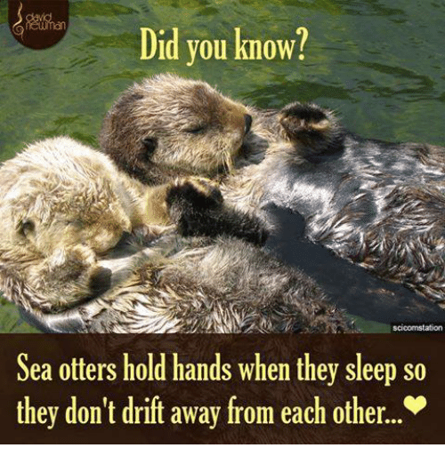 sea otter: Did you know?  scicomstation  Sea otters hold hands when they sleep so  they don't drift away from each other