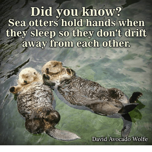sea otter: Did you know?  Sea otters hold hands when  they sleep so they don't drift  away from each other.  David Avocado Wolfe