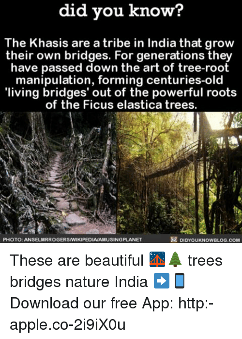 Apple, Beautiful, and Memes: did you know?  The Khasis are a tribe in India that grow  their own bridges. For generations they  have passed down the art of tree-root  manipulation, forming centuries-old  'living bridges' out of the powerful roots  of the Ficus elastica trees.  PHOTO: ANSELMRROGERSNIKIPEDIAAMUSINGPLANET  DIDYOUKNOWBLOG.COM These are beautiful 🌉🌲 trees bridges nature India ➡📱Download our free App: http:-apple.co-2i9iX0u