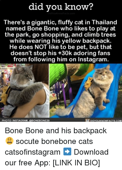Cats, Instagram, and Memes: did you know?  There's a gigantic, fluffy cat in Thailand  named Bone Bone who likes to play at  the park, go shopping, and climb trees  while wearing his yellow backpack  He does NOT like to be pet, but that  doesn't stop his +30k adoring fans  from following him on Instagram.  PHOTO: INSTAGRAM, EBONEBONE29 Bone Bone and his backpack 😩 socute bonebone cats catsofinstagram ➡️ Download our free App: [LINK IN BIO]