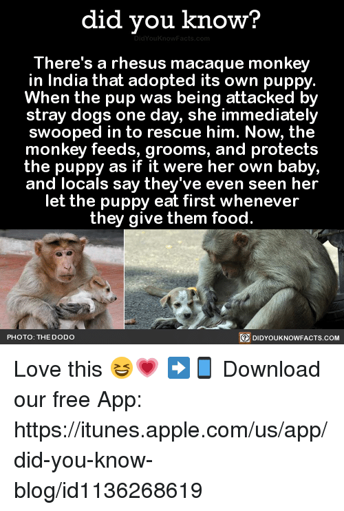 Apple, Dank, and Dogs: did you know?  There's a rhesus macaque monkey  in India that adopted its own puppy.  When the pup was being attacked by  stray dogs on  day, she immediately  swooped in to rescue him. Now, the  monkey feeds, grooms, and protects  the puppy as if it were her own baby,  and locals say they've even seen her  let the puppy eat first whenever  they give them food.  PHOTO: THE DODO  DIDYOUKNOWFACTS.COM Love this 😆💗  ➡📱 Download our free App: https://itunes.apple.com/us/app/did-you-know-blog/id1136268619