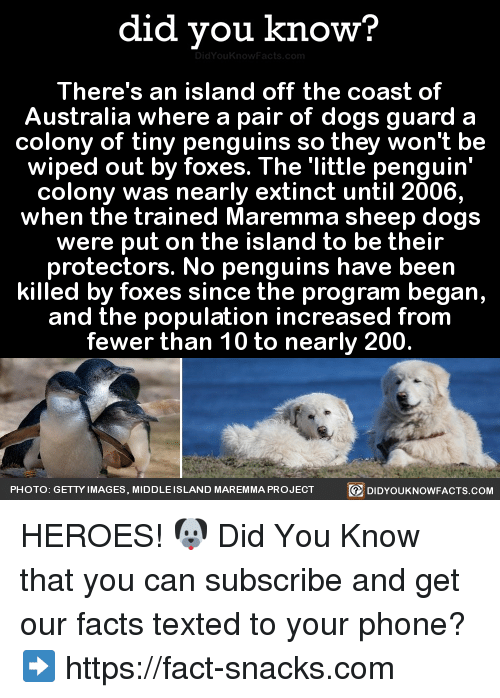 Dank, Australia, and Getty Images: did you know?  There's an island off the coast of  Australia where a pair of dogs guard a  colony of tiny penguins so they won't be  wiped out by foxes. The little penguin'  colony was nearly extinct until 2006,  when the trained Maremma sheep dogs  were put on the island to be their  protectors. No penguins have been  killed by foxes since the program began,  and the population increased from  fewer than 10 to nearly 200.  PHOTO: GETTY IMAGES, MIDDLE  SLAND MAREMMA PROJECT  R DIDYOUKNOWFACTS.COM HEROES! 🐶  Did You Know that you can subscribe and get our facts texted to your phone? ➡ https://fact-snacks.com