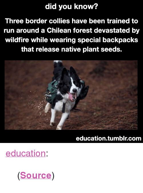 """Chilean: did you know?  Three border collies have been trained to  run around a Chilean forest devastated by  wildfire while wearing special backpacks  that release native plant seeds.  education.tumblr.com <p><a href=""""https://education.tumblr.com/post/173297149930/source"""" class=""""tumblr_blog"""">education</a>:</p>  <blockquote><p>(<b><a href=""""http://www.greenmatters.com/living/2018/02/19/2m3wBf/border-collies-forest"""">Source</a></b>)</p></blockquote>"""