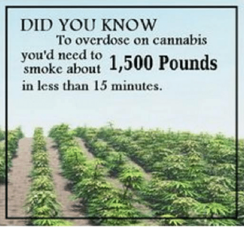 Cannabis: DID YOU KNOW  To overdose on cannabis  you'd need to  1,500 Pounds  smoke about in less than 15 minutes.