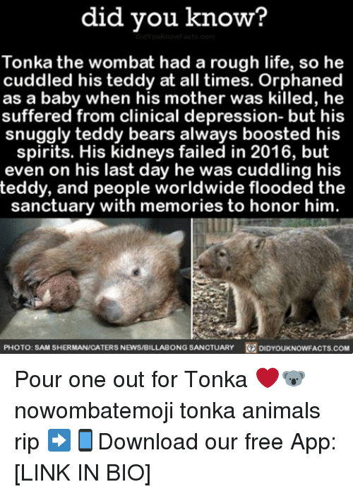 Memes, 🤖, and Mother: did you know?  Tonka the wombat had a rough life, so he  cuddled his teddy at all times. Orphaned  as a baby when his mother was killed, he  suffered from clinical depression- but his  snuggly teddy bears always boosted his  spirits. His kidneys failed in 2016, but  even on his last day he was cuddling his  teddy, and people worldwide flooded the  sanctuary with memories to honor him  PHOTO: SAM SHERMANICATERS NEWS/BILLABONG SANCTUARY  DIDYOUKNowFACTs.coM Pour one out for Tonka ❤️🐨 nowombatemoji tonka animals rip ➡📱Download our free App: [LINK IN BIO]