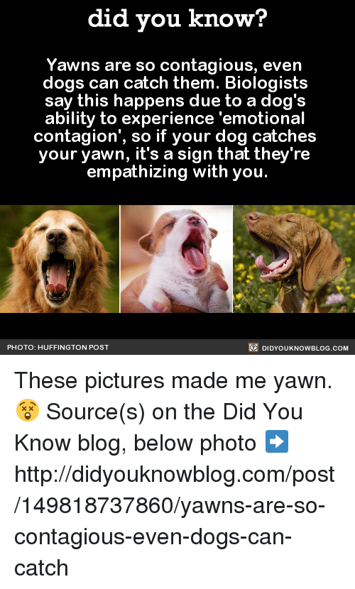 "empath: did you know?  Yawns are so contagious, even  dogs can catch them. Biologists  say this happens due to a dog's  ability to experience 'emotional  contagion"", so if your dog catches  your yawn, it's a sign that they're  empathizing with you  DIDYOUKNOWBLOG.coM  PHOTO: HUFFINGTON POST These pictures made me yawn. 😲  Source(s) on the Did You Know blog, below photo ➡️ http://didyouknowblog.com/post/149818737860/yawns-are-so-contagious-even-dogs-can-catch"