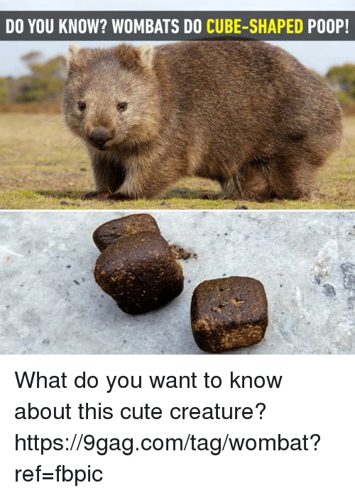 9gag, Cute, and Dank: DO YOU KNOW? WOMBATS DO CUBE-SHAPED PO0P! What do you want to know about this cute creature? https://9gag.com/tag/wombat?ref=fbpic
