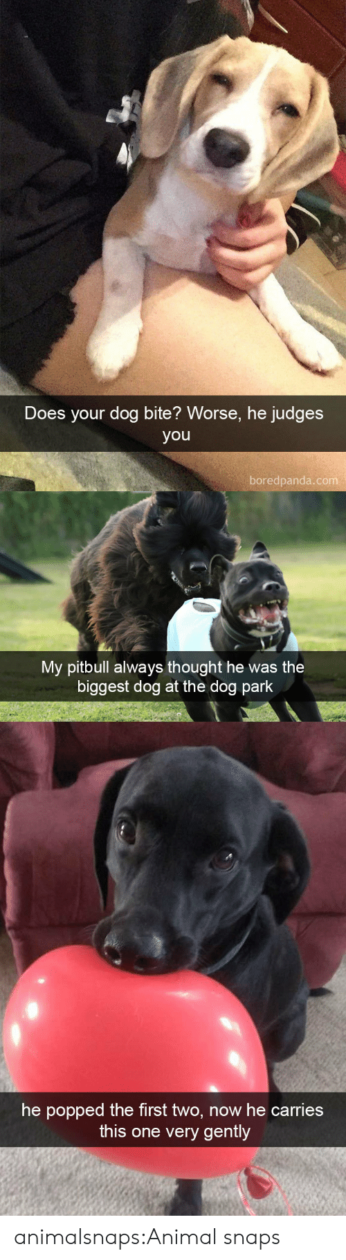 Dog Park: Does your dog bite? Worse, he judges  you  boredpanda.com   My pitbull always thought he was the  biggest dog at the dog park   he popped the first two, now he carries  this one very gently animalsnaps:Animal snaps