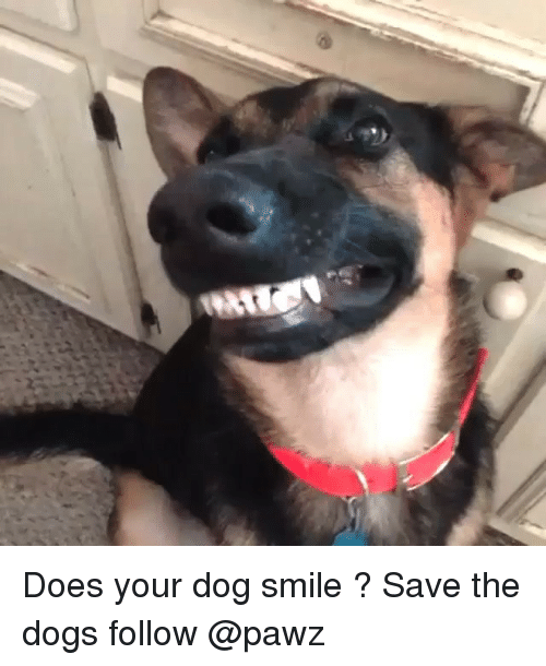 Dog Smile: Does your dog smile ? Save the dogs follow @pawz