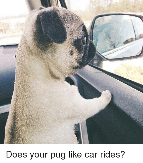 Doe, Memes, and Pugs: Does your pug like car rides?