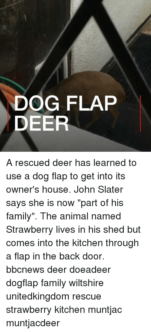 """flapping: DOG FLAP  DEER A rescued deer has learned to use a dog flap to get into its owner's house. John Slater says she is now """"part of his family"""". The animal named Strawberry lives in his shed but comes into the kitchen through a flap in the back door. bbcnews deer doeadeer dogflap family wiltshire unitedkingdom rescue strawberry kitchen muntjac muntjacdeer"""