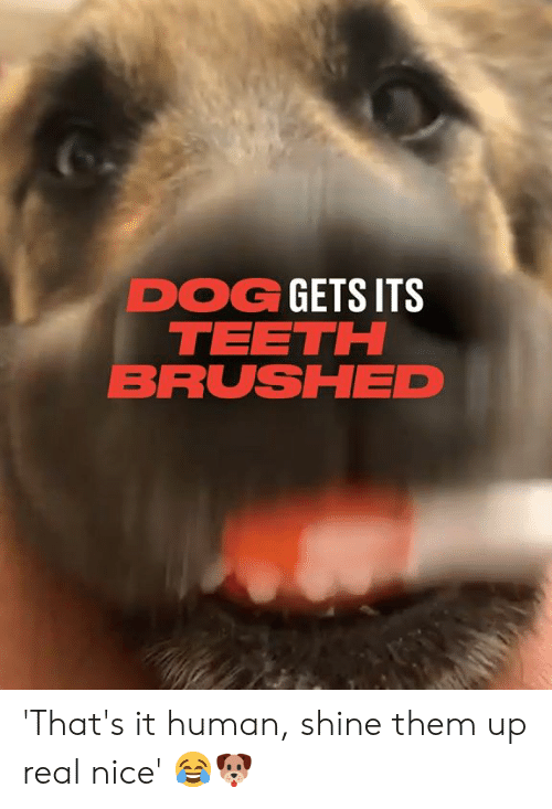 that's it: DOG GETS ITS  TEETH  BRUSHED 'That's it human, shine them up real nice' 😂🐶