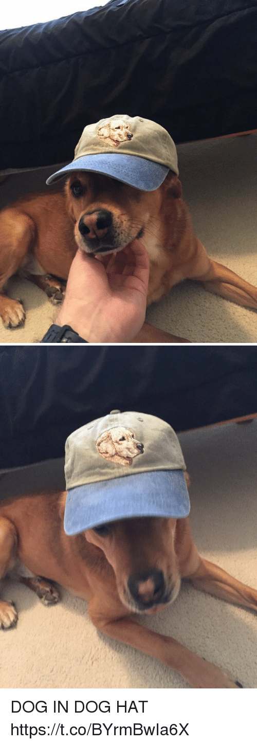 Dogs, Girl Memes, and Dog: DOG IN DOG HAT https://t.co/BYrmBwIa6X