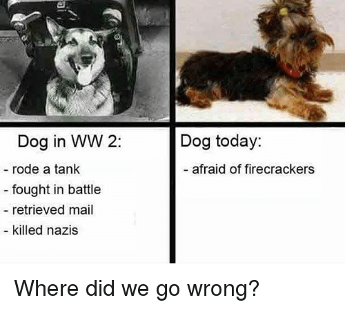 firecrackers: Dog in WW 2:  Dog today:  rode a tank  - afraid of firecrackers  - fought in battle  retrieved mail  killed nazis Where did we go wrong?