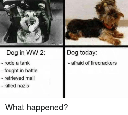 firecrackers: Dog in WW 2:  rode a tank  fought in battle  retrieved mail  killed nazis  Dog today:  - afraid of firecrackers What happened?