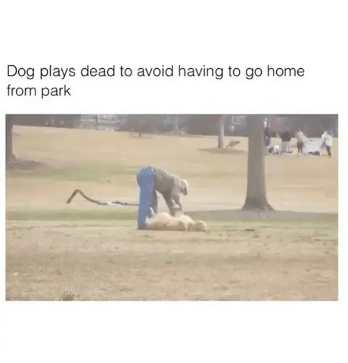 Dog Plays Dead To Avoid Going Home From Park