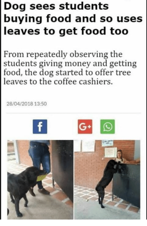 Food, Money, and Coffee: Dog sees students  buying food and so uses  leaves to get food too  From repeatedly observing the  students giving money and getting  food, the dog started to offer tree  leaves to the coffee cashiers.  28/04/2018 13:50