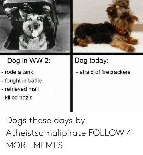 firecrackers: Dog today:  Dog in WW 2:  -rode a tank  -afraid of firecrackers  - fought in battle  - retrieved mail  - killed nazis Dogs these days by Atheistsomalipirate FOLLOW 4 MORE MEMES.