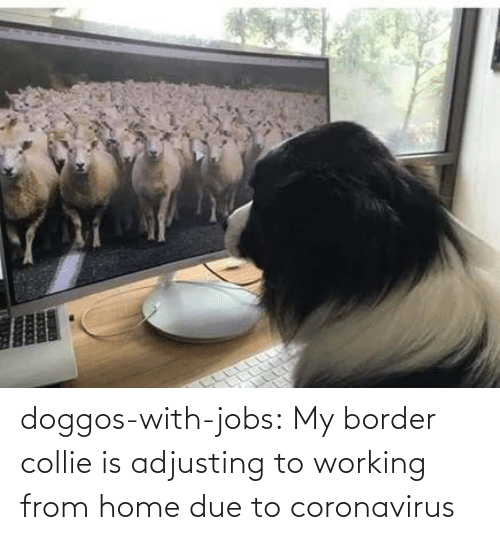 Due: doggos-with-jobs:  My border collie is adjusting to working from home due to coronavirus