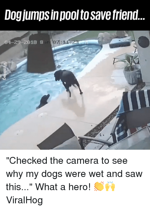 """Dank, Dogs, and Saw: Dogjumps inpool to save friend  04-29-2018 S """"Checked the camera to see why my dogs were wet and saw this..."""" What a hero! 👏🙌  ViralHog"""