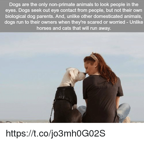Memes, Biology, and 🤖: Dogs are the only non-primate animals to look people in the  eyes. Dogs seek out eye contact from people, but not their own  biological dog parents. And, unlike other domesticated animals,  dogs run to their owners when they're scared or worried Unlike  horses and cats that will run away. https://t.co/jo3mh0G02S