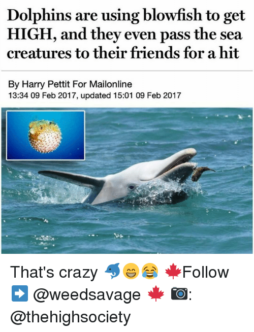 blowfish: Dolphins are using blowfish to get  HIGH, and they even pass the sea  creatures to their friends for a hit  By Harry Pettit For Mailonline  13:34 09 Feb 2017, updated 15:01 09 Feb 2017 That's crazy 🐬😁😂 🍁Follow ➡ @weedsavage 🍁 📷: @thehighsociety