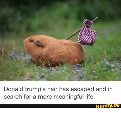 trump hair: Donald trump's hair has escaped and in  search for a more meaningful life.  ifunny.