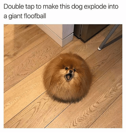 Funny, Giant, and Dog: Double tap to make this dog explode into  a giant floofball