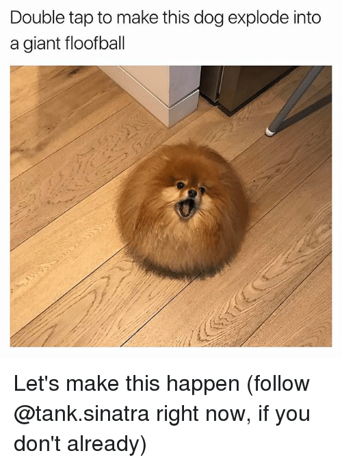 Funny, Giant, and Dog: Double tap to make this dog explode into  a giant floofball Let's make this happen (follow @tank.sinatra right now, if you don't already)