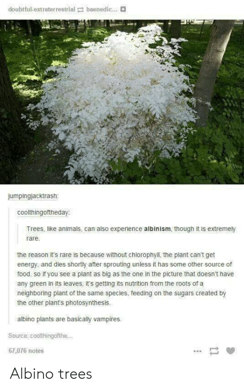 Photosynthesis: doubtful-extraterrestrial baenedic...  jumpingjacktrash  coolthingoftheday:  Trees, like animals, can also experience albinism, though it is extremely  rare  the reason it's rare is because without chlorophyll, the plant can't get  energy, and dies shortly after sprouting unless it has some other source of  food, so if you see a plant as big as the one in the picture that doesn't have  any green in its leaves, it's getting its nutrition from the roots of a  neighboring plant of the same species, feeding on the sugars created by  the other plant's photosynthesis.  albino plants are basically vampires.  Source: coolthingofthe.  67,076 notes Albino trees
