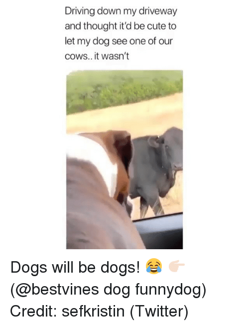 Cute, Dogs, and Driving: Driving down my driveway  and thought it'd be cute to  let my dog see one of our  coWS.. it wasn't Dogs will be dogs! 😂 👉🏻(@bestvines dog funnydog) Credit: sefkristin (Twitter)