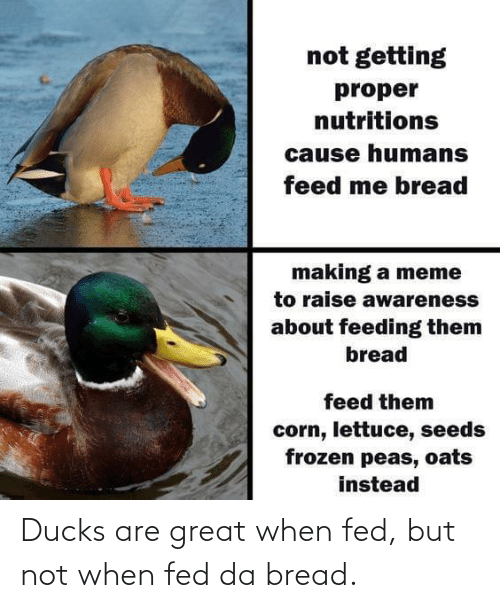 fed: Ducks are great when fed, but not when fed da bread.