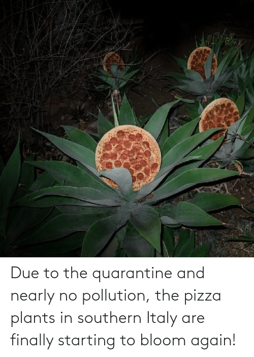 Due: Due to the quarantine and nearly no pollution, the pizza plants in southern Italy are finally starting to bloom again!