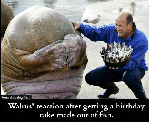 Birthday, Facts, and Memes: e Amazing Facts  Walrus' reaction after getting a birthday  cake made out of fish.
