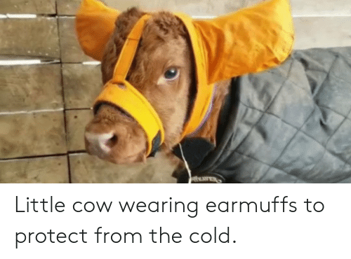 earmuffs: EAER Little cow wearing earmuffs to protect from the cold.