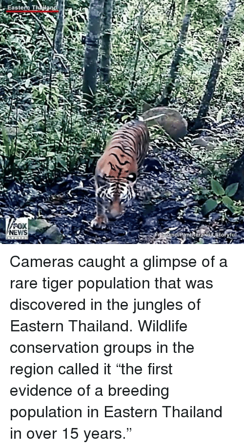 "Memes, News, and Thailand: Eastem Thy end!  Eastern Thailand  SOX  NEWS  ndiPantReraviastoryfu Cameras caught a glimpse of a rare tiger population that was discovered in the jungles of Eastern Thailand. Wildlife conservation groups in the region called it ""the first evidence of a breeding population in Eastern Thailand in over 15 years."""