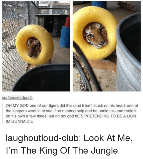 Tigers: ed  OH MY GOD one of our tigers did this (and it isn't stuck on his head; one of  the keepers went in to see if he needed help and he undid this and redid it  on his own a few times) but oh my god hE'S PRETENDING TO BE A LION  IM GONNA DIE laughoutloud-club:  Look At Me, I'm The King Of The Jungle