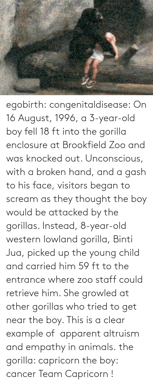 brookfield: egobirth:  congenitaldisease:  On 16 August, 1996, a 3-year-old boy fell 18 ft into the gorilla enclosure at Brookfield Zoo and was knocked out. Unconscious, with a broken hand, and a gash to his face, visitors began to scream as they thought the boy would be attacked by the gorillas. Instead, 8-year-old western lowland gorilla, Binti Jua, picked up the young child and carried him 59 ft to the entrance where zoo staff could retrieve him. She growled at other gorillas who tried to get near the boy. This is a clear example of  apparent altruism and empathy in animals.  the gorilla: capricorn the boy: cancer   Team Capricorn !