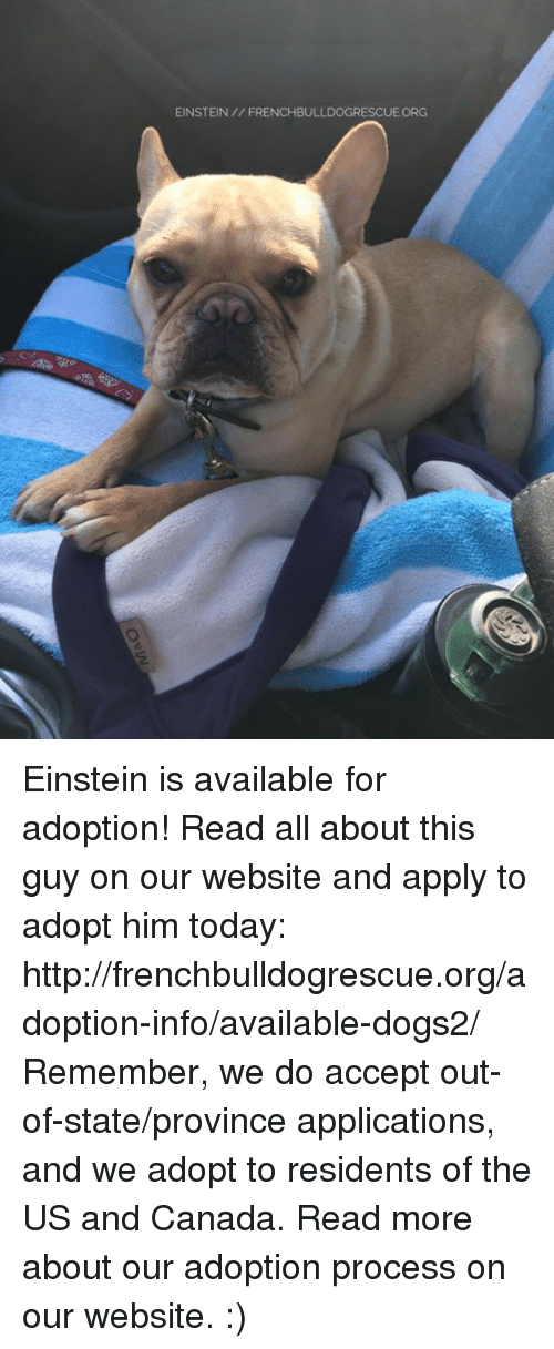 us-and-canada: EINSTEIN FRENCHBULLDOGRESCUE ORG Einstein is available for adoption! Read all about this guy on our website <location, likes, dislikes> and apply to adopt him today: http://frenchbulldogrescue.org/adoption-info/available-dogs2/  Remember, we do accept out-of-state/province applications, and we adopt to residents of the US and Canada. Read more about our adoption process on our website. :)
