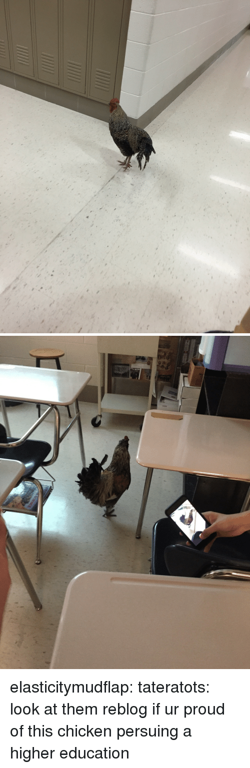 higher education: elasticitymudflap:  tateratots:  look at them  reblog if ur proud of this chicken persuing a higher education