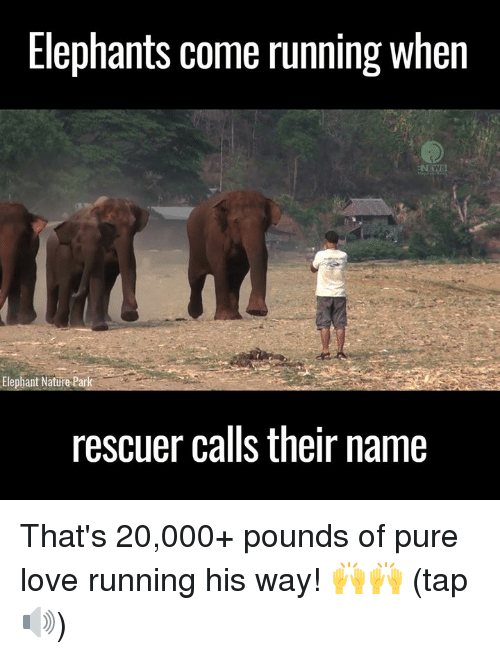 Dank, 🤖, and Name: Elephants come running when  Elephant Nature Park  rescuer calls their name That's 20,000+ pounds of pure love running his way! 🙌🙌 (tap 🔊)