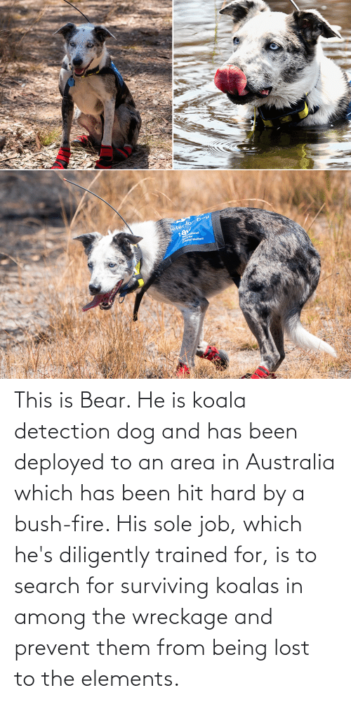 Amal: eterlor Dog  ational  amal Welfare This is Bear. He is koala detection dog and has been deployed to an area in Australia which has been hit hard by a bush-fire. His sole job, which he's diligently trained for, is to search for surviving koalas in among the wreckage and prevent them from being lost to the elements.