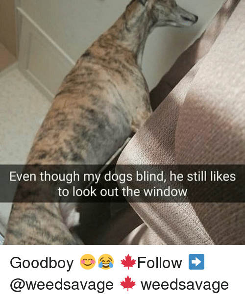 Looking Out The Window: Even though my dogs blind, he still likes  to look out the window Goodboy 😊😂 🍁Follow ➡ @weedsavage 🍁 weedsavage
