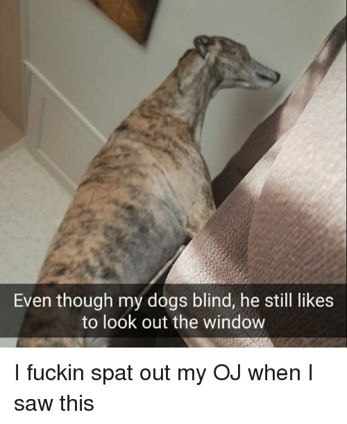 Looking Out The Window: Even though my dogs blind, he still likes  to look out the window I fuckin spat out my OJ when I saw this