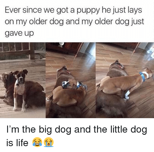 Lay's, Life, and Memes: Ever since we got a puppy he just lays  on my older dog and my older dog just  gave up I'm the big dog and the little dog is life 😂😭
