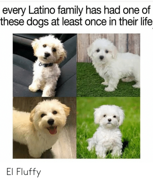 latino: every Latino family has had one of  these dogs at least once in their life El Fluffy