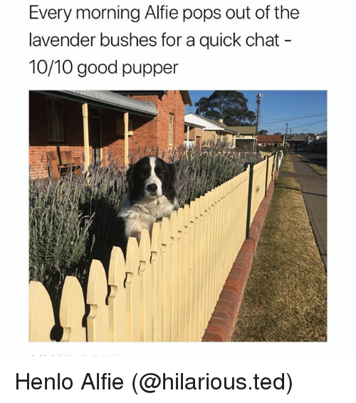Funny, Ted, and Chat: Every morning Alfie pops out of the  lavender bushes for a quick chat  10/10 good pupper Henlo Alfie (@hilarious.ted)
