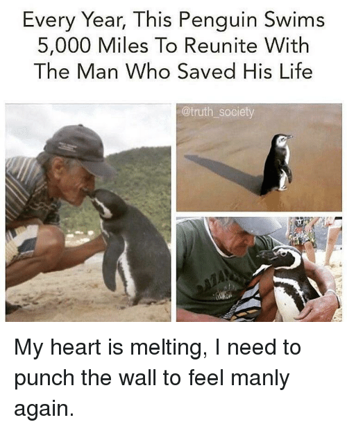 manly: Every Year, This Penguin Swims  5,000 Miles To Reunite With  The Man Who Saved His Life  @truth society My heart is melting, I need to punch the wall to feel manly again.