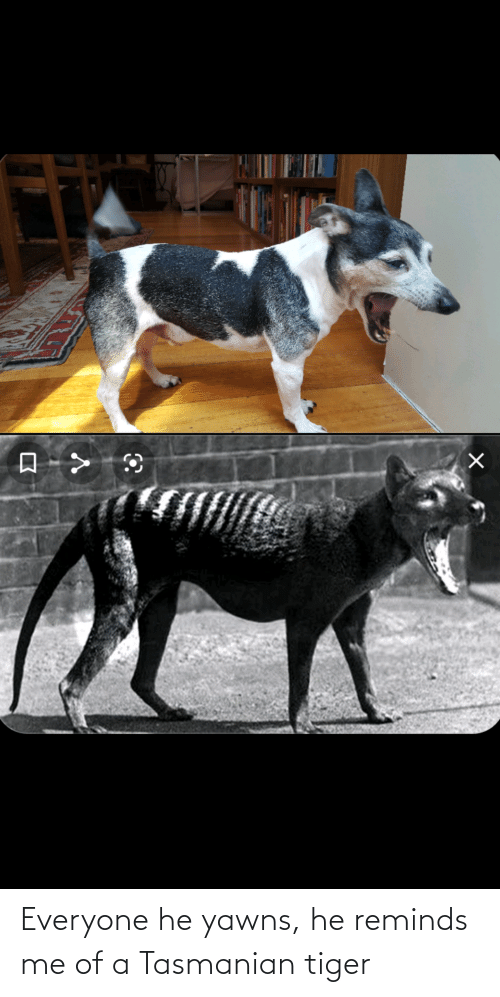 tasmanian tiger: Everyone he yawns, he reminds me of a Tasmanian tiger